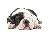 Free Cute English Bulldog Puppy Dog Sound Asleep With Eyes Closed Stock Photo - 58512260