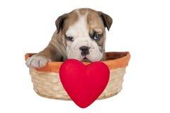 Cute English bulldog puppy Stock Image