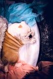 Cute English bulldog puppy sleeping Stock Images