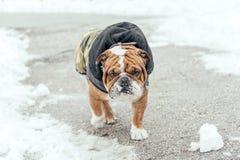 Portrait of English bulldog. Cute English bulldog walking in the park Royalty Free Stock Photo