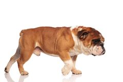 Cute english bulldog walks to side and smells something. Cute english bulldog walks to side on white background and smells something, looking down stock images