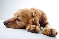 Cute English Cocker Spaniel puppy lying and Royalty Free Stock Photos