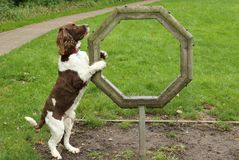 A cute English Springer Spaniel Dog Canis lupus familiaris attempting agility. He hasn`t really come to grips with it yet. An English Springer Spaniel Dog Canis stock photo