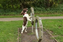 A cute English Springer Spaniel Dog Canis lupus familiaris attempting agility. A sweet English Springer Spaniel Dog Canis lupus familiaris attempting agility Stock Photography