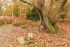 A cute English Springer Spaniel Dog Canis lupus familiaris enjoying a walk in Bencroft Woods in Autumn in Hertfordshire, UK. Cute English Springer Spaniel Dog stock photo