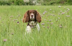 A sweet English Springer Spaniel Dog Canis lupus familiaris in a field of wild flowers. A cute English Springer Spaniel Dog Canis lupus familiaris in a field of Royalty Free Stock Photo