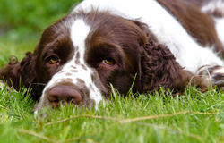 Cute English Springer Spaniel lying on the the green grass in su Royalty Free Stock Image