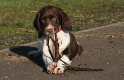 A cute English Springer Spaniel puppy chewing on a strip of wood that it has in its mouth and is holding between its paws. A sweet English Springer Spaniel Stock Photography