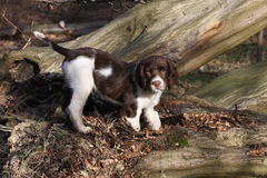 A cute English Springer Spaniel puppy, playing on a fallen tree in the woods. Royalty Free Stock Photo