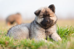 Cute Eurasian puppy royalty free stock images