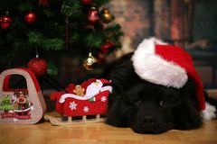 Cute eurasier dog by the christmas tree. Royalty Free Stock Image