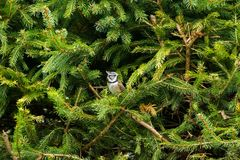 European Crested Tit bird with punk hair perching on pine tree b. Cute European Crested Tit bird with punk hair perching on pine tree branch, Autumn in Austria Royalty Free Stock Images