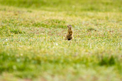 Cute European ground squirrel on field (Spermophilus citellus) Royalty Free Stock Image