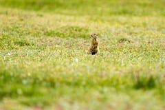 Cute European ground squirrel on field (Spermophilus citellus) Royalty Free Stock Image