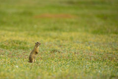 Cute European ground squirrel on field (Spermophilus citellus) Royalty Free Stock Photography