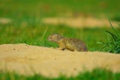Cute European ground squirrel. Lovely gnawer feeding in grass& x28;Spermophilus citellus& x29; Stock Image