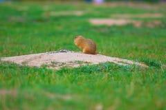 Cute European ground squirrel. Lovely gnawer feeding in grass& x28;Spermophilus citellus& x29; Stock Photo