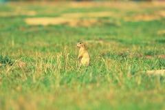 Cute European ground squirrel. Lovely gnawer feeding in grass& x28;Spermophilus citellus& x29; Royalty Free Stock Photos
