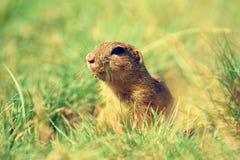 Cute European ground squirrel. Lovely gnawer feeding in grass& x28;Spermophilus citellus& x29; Royalty Free Stock Photo