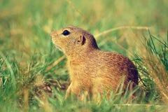 Cute European ground squirrel. Lovely gnawer feeding in grass& x28;Spermophilus citellus& x29; Stock Images