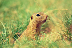Cute European ground squirrel. Lovely gnawer feeding in grass& x28;Spermophilus citellus& x29; Royalty Free Stock Images