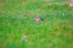 Cute European ground squirrel. Lovely gnawer feeding in grass& x28;Spermophilus citellus& x29; Stock Photography