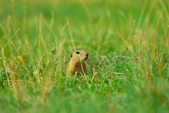 Cute European ground squirrel. Lovely gnawer feeding in grass& x28;Spermophilus citellus& x29; Royalty Free Stock Image