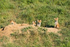 European Red Fox babies near their nest in the wild. Cute European Red Fox babies near their nest in the wild Royalty Free Stock Image