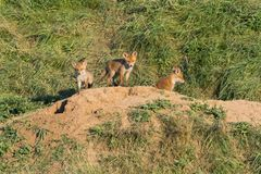 European Red Fox babies near their nest in the wild. Cute European Red Fox babies near their nest in the wild Stock Images