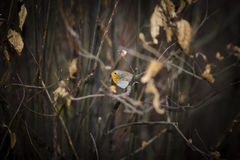 Bird between Branches Royalty Free Stock Photo
