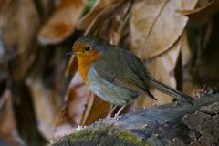 Cute European Robin / Erithacus rubecula bird standing on a log in Autumn with brown leaves in background. stock images