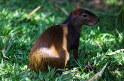 Cute exotic agouti little mammal rodent from Central south america in Costa Rica. In summer Royalty Free Stock Photo