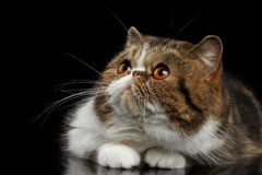 Cute Exotic Cat Lying on mirror with paws, Looking up Stock Photo