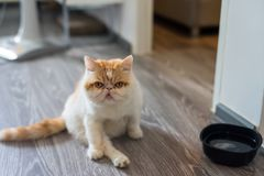 Cute Exotic shorthair cat in house. Cute Brown Exotic shorthair cat sit on wooden floor and look at camera in house. best human friend with closeup Portrait Royalty Free Stock Images