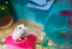Cute Exotic Winter White Dwarf Hamster begging for pet food with innocent face. Winter White Hamster is also known as Winter White. Dwarf, Djungarian or royalty free stock image