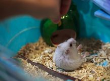 Cute Exotic Winter White Dwarf Hamster falling over on hind legs begging for pet food from owner hand. Winter White Hamster is als. O known as Winter White Dwarf stock photos