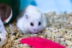 Cute Exotic Winter White Dwarf Hamster looking sad and lonely, feeling and emotion concept, begging for pet food. Winter White. Hamster is known as Winter White royalty free stock photos