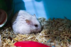 Cute Exotic Winter White Dwarf Hamster looking sad and lonely, feeling and emotion concept, begging for pet food. Winter White. Hamster is known as Winter White royalty free stock image