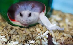 Cute Exotic Winter White Dwarf Hamster looking straight face out from its house. Winter White Hamster is also known as Winter Whit. E Dwarf, Djungarian or royalty free stock images