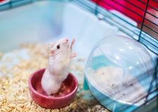 Cute Exotic Winter White Dwarf Hamster standing two legs begging for pet food with innocent face. Winter White Hamster is also kno. Wn as Winter White Dwarf stock photography