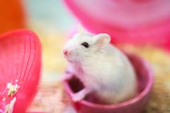 Cute Exotic Winter White Dwarf Hamster standing two legs begging for pet food with innocent face. Winter White Hamster is also. Known as Winter White Dwarf stock photography