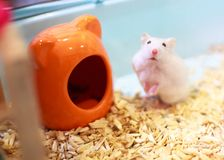 Cute Exotic Winter White Dwarf Hamster standing two legs begging for pet food with innocent face in front of house. Winter White. Hamster is known as Winter royalty free stock photo