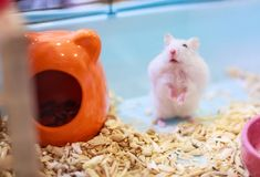 Cute Exotic Winter White Dwarf Hamster standing two legs begging for pet food with innocent face. Winter White Hamster is also kno. Wn as Winter White Dwarf stock photo