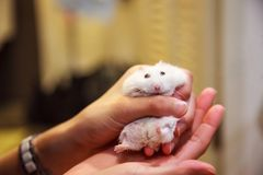 Cute Exotic Winter White Dwarf Hamster Winter White Dwarf, Siberian Hamster in tears, struggling to free from girl`s hand. Putty. In hands, idiom. Human pet stock image