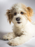 Cute expressive white mixed breed dog with red ears stock image