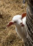 Cute face of baby goat. Royalty Free Stock Photo