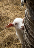 Cute face of baby goat. Royalty Free Stock Images