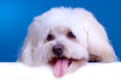 Cute face of a bichon Stock Photos