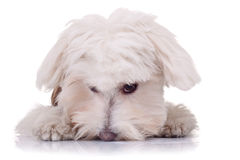 Cute face of a bichon. On a white background Royalty Free Stock Images