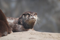 Really Cute Face of a Giant  River Otter Stock Photography